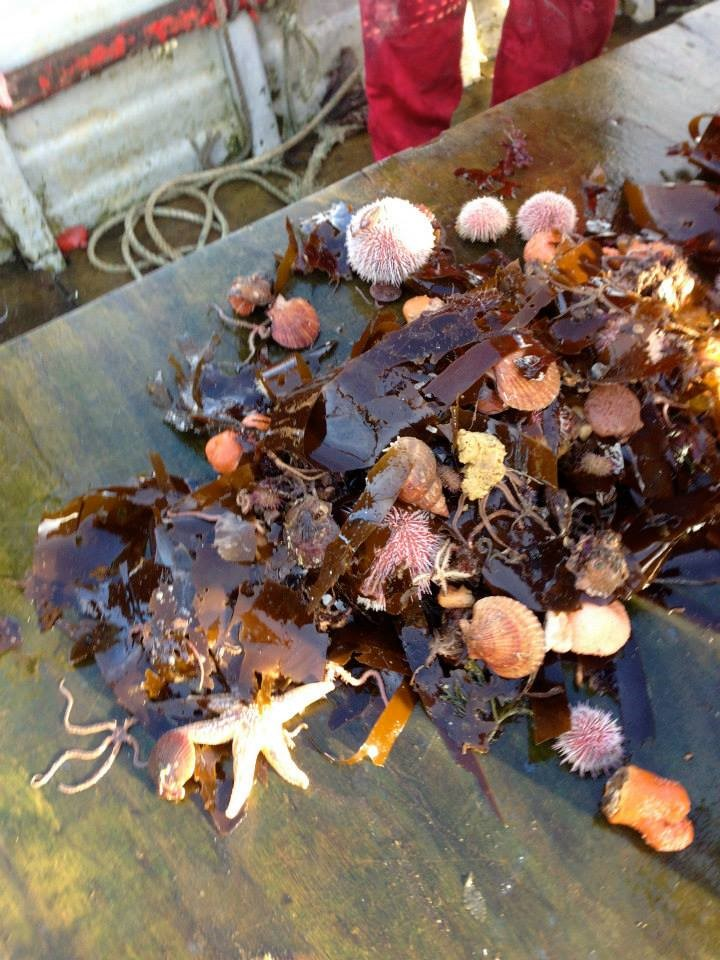Starfish, seaweed, and sea urchins are common finds when scallop fishing in the lochs of Scotland.