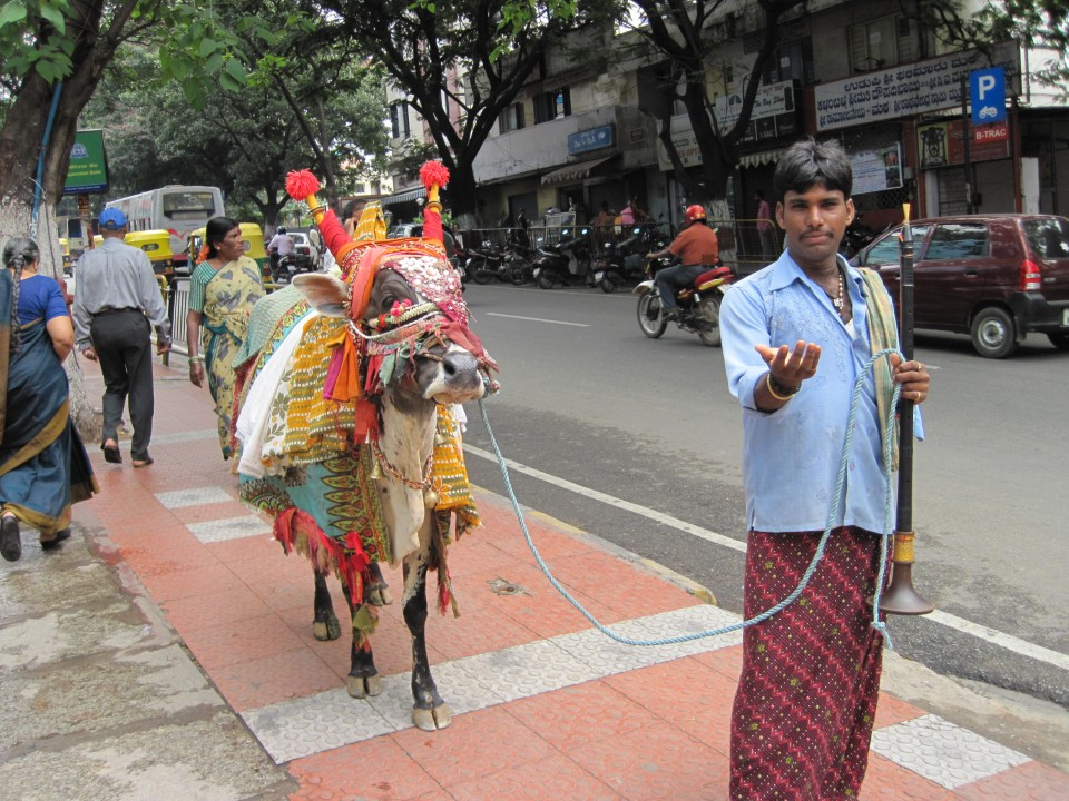 The sacred cow is dressed in lavish decoration and paraded around the city.